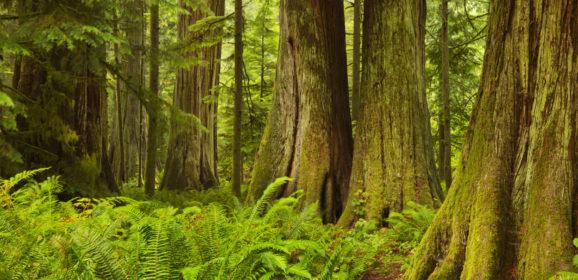 Western Red Cedar oder Rot-Zeder Holz